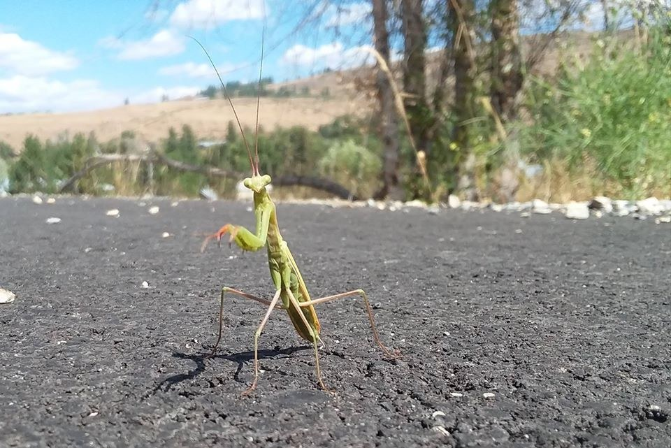 Praying Mantis in Winthrop by Trevin Leon