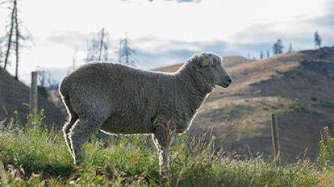 2017 07 21 Mc Farland Lamb Ranch 4211 weymuller