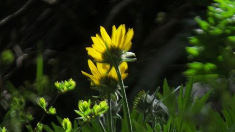 Backlit Balsamroot