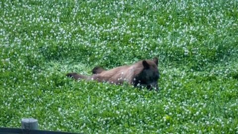 Bear in clover