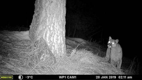 Cougar Satterfield