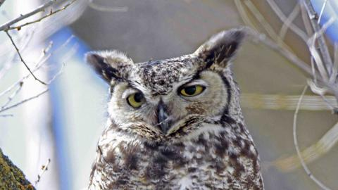 Great Horned Owl A