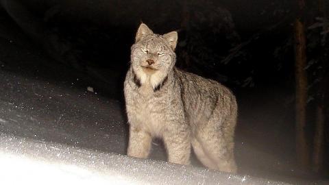 Harts Pass lynx 2
