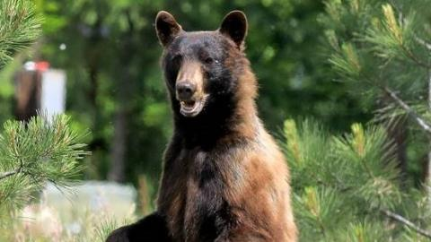 Mark Mc Gee Black Bear Standing 1