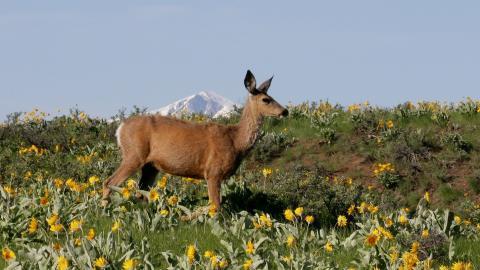 Mule deer by Mary K