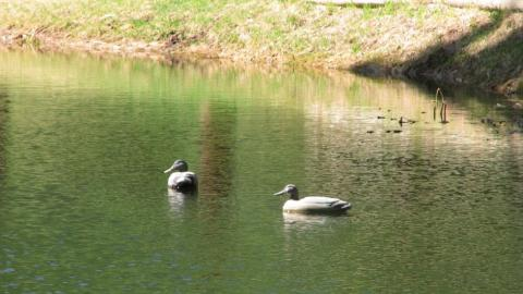 Mystery Ducks