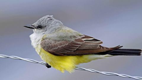 Western King Bird