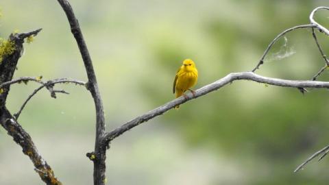 Yellow Warbler kiesau