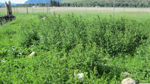Canada thistle near pps 22 26
