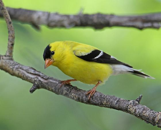 Goldfinch small