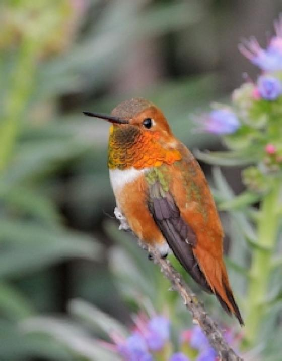 Rufous Hummingbird4 Tom Grey