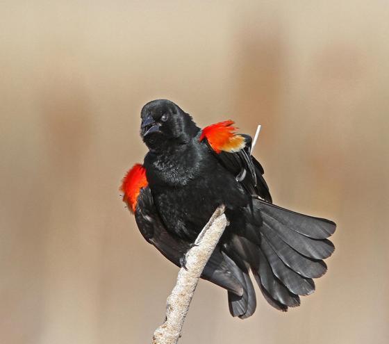 Rwd winged Blackbird pp small
