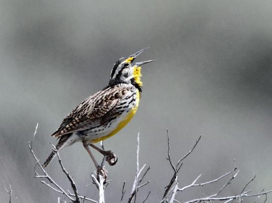 Western Meadowlark A pp small