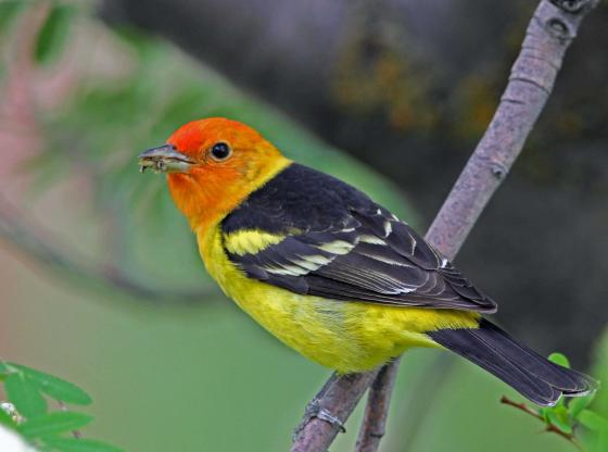 Western Tanager B pp