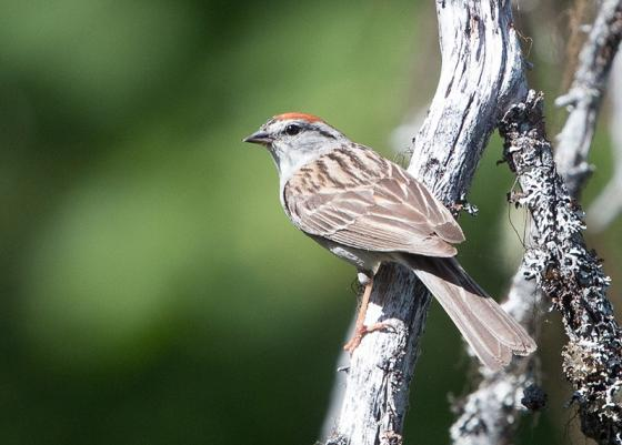 Chipping sparrow pb small