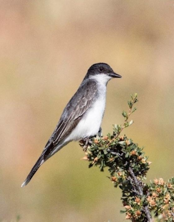 Eastern kingbird by Peter Bauer