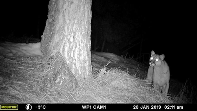 December Special Presentation: How Do Cougars Hunt Deer in Human-Dominated Landscapes