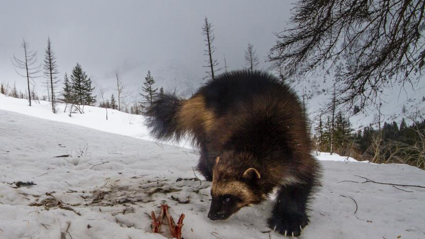 January First Tuesday:  Wolverines of the North Cascades