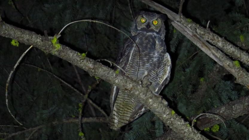A Word About Owls
