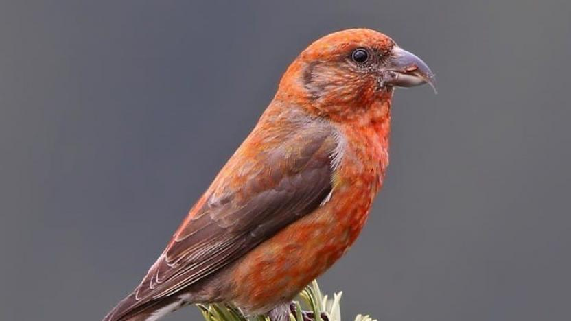 Did You Know: Red Crossbills