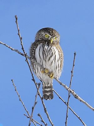 Northern pygmy owl Cred Bauer For BV owling