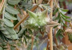 Puncture Vine Seedhead